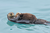 Alaskan or Northern Sea Otter (Enhydra lutris) mom carrying very young pup.  Alaska.