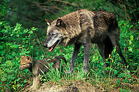 Gray Wolf (Canis lupus) mother and pup