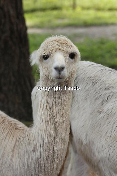 A young Alpaca