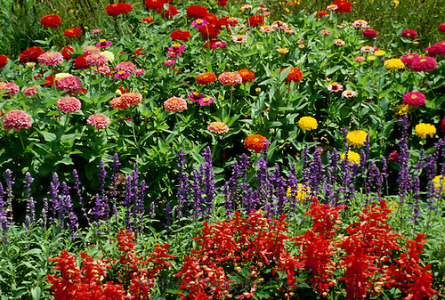 Zinnias and indian paintbrush blooming in garden in summer