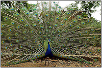 A peacock spreads its colorful feathers at the Lazy Five Ranch in Mooresville, NC. Lazy 5 Ranch is a privately owned exotic animal drive through park and safari in Iredell County, NC.