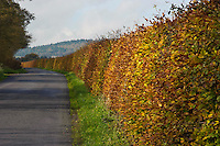Beech hedge in autumn leaf, Bleasdale, Lancashire.