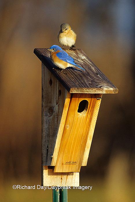 01377-05311 Eastern Bluebirds (Sialia sialis) male & female on nest box Marion Co.  IL