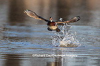 00715-08917 Wood Duck (Aix sponsa) male lifting off from wetland,  Marion County, IL
