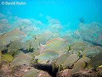 0111-1201  School of Blue Striped Grunts in Caribbean Reef, Haemulon sciurus  © David Kuhn/Dwight Kuhn Photography