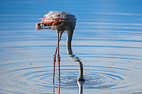 Reflection of a greater flamingo feeding in shallow water.