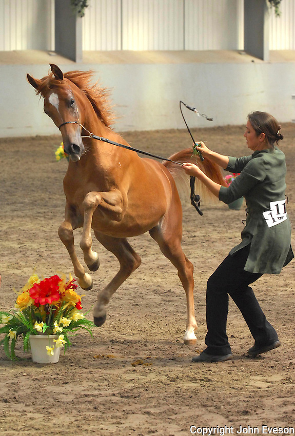 Showing Arab colt, Myercough, Lancashire