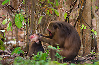 An adult Stump-tailed Macaque (Macaca arctoides) preens a youngster. Stump-tailed Macaques are found in subtropical and tropical broadleaf evergreen forests.They spend more time on the ground than in trees. Phetchaburi, Thailand.