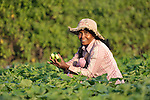 Sim Saroum harvests cucumbers in the Cambodian village of Talom.