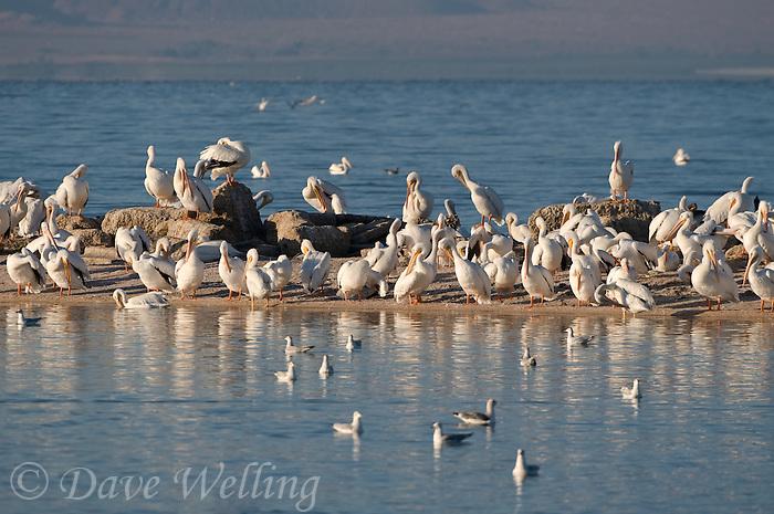 570040021 a flock of wild white pelicans pelecanus erythrorhynchos rest and preen on a sandspitay salton sea national wildlife refuge california