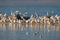 570040021 a flock of wild white pelicans pelecanus erythrorhynchos rest and preen on a sandspitay salton sea national wildlife refuge california