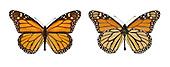 Monarch - Danaus plexippus - male (right) - female (left)