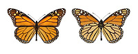 Monarch - Danaus plexippus - male (right) - female (left)