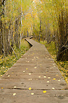 Boardwalk trail winding through aspen forest, fall, Inyo National Forest, California