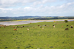 Cattle and horses grazing at Budle Bay, Northumberland coast, England, UK