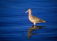 Marbled Godwit in blue water, Fiesta Island Park at Sea World, San Diego, California