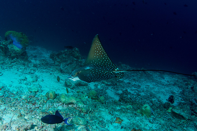 Spotted eagle ray,Aetobatus narinari, Maldives