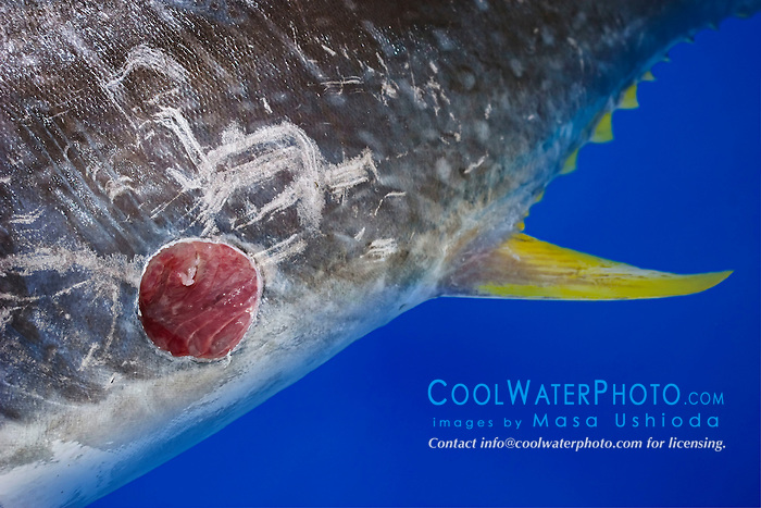 Cookiecutter Shark wound, Isistius brasiliensis, on belly of Bigeye Tuna, caught off Kona Coast, Big Island, Hawaii, Pacific Ocean.