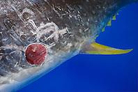 Cookiecutter Shark wound, Isistius brasiliensis, on belly of Bigeye Tuna, caught off Kona Coast, Big Island, Hawaii, Pacific Ocean.