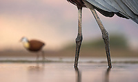 The Goliath heron is the world's tallest heron species.  One can see an African jacana dwarfed in the background.