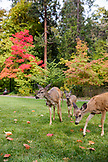 USA, Oregon, Ashland, deer wander through Lithia Park