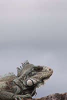 Iguana iguana.<br /> <br /> Distribuição geográfica: Do México ao Brasil Central e Paraguai<br /> Habitat: Florestas úmidas e áreas de caatinga Hábitos alimentares: Herbívoro<br /> Reprodução: Desova entre 30 e 40 ovos por postura, que eclodem após 60 a 75 dias de incubação<br /> Período de vida: Aproximadamente 15 anos<br /> O sinimbú (Iguana iguana) é um dos mais populares e maiores lagartos das Américas, ocorrendo desde o México até o norte da América do Sul. Também conhecido popularmente como iguana-verde ou camaleão, esse lagarto, no Brasil, pode ser encontrado tanto na Caatinga como em florestas úmidas da Amazônia. Sua coloração varia conforme a região que habita, podendo existir exemplares acinzentados, esverdeados ou alaranjados.<br /> Dependendo do clima ou da época do ano ele pode mudar de cor, justificando o nome popular camaleão, sendo que na época reprodutiva os machos ficam com cores bem vivas para atrair as fêmeas. É um animal arborícola, passando a maior parte do tempo encima das árvores próximas de rios,<br /> <br /> <br /> Marabá, Pará, Brasil.<br /> Foto Paulo Santos<br /> 02/04/2010