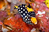 clown trigger, bigspotted triggerfish, Balistoides conspicillum, juvenile, Koh Ha, Thailand, Andaman Sea, Indian Ocean
