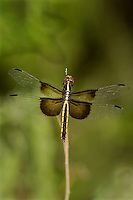 389210001 a female widow skimmer dragonfly libellula luctosa perched on a small twig southeast metropolitan park travis county texas