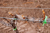 Detail of vine trained in Cordon Royat Bodega Familia Schroeder Winery, also called Saurus, Neuquen, Patagonia, Argentina, South America