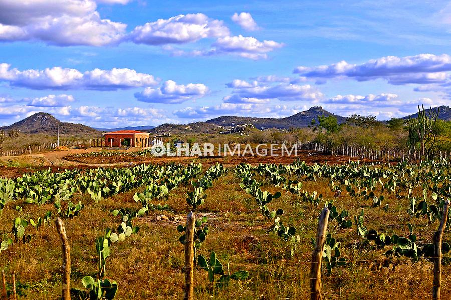 Plantaçao de palma no agreste, municipio de Solanea. Paraiba. 2014. Foto de Kleide Teixeira.
