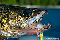 Walleye with lure in mouth