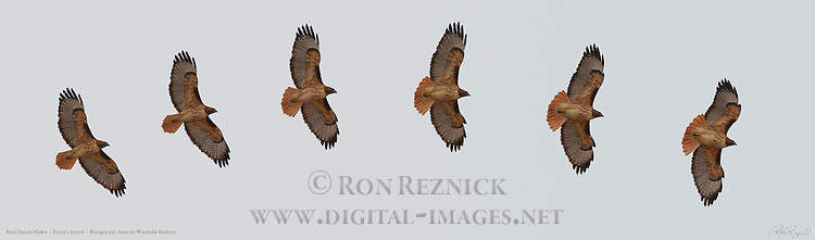 Red-tailed Hawk, Flight Study, Bosque del Apache Wildlife Refuge, New Mexico