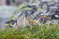 Young American pika (Ochotona princeps) eating a cinquefoil flower.  Beartooth Mountains, Wyoming/Montana border.  Summer.  This photo was taken in alpine setting at around 11,000 feet (3350 meters) elevation.