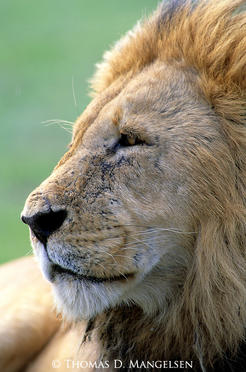 Portrait of Lion (Panthera leo). Serengeti National Park - Tanzania