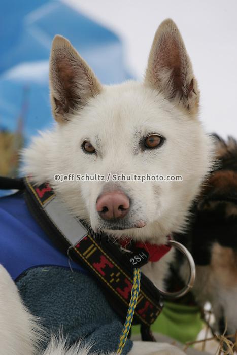 Aliy Zirkle's dog Heidi at the Kaltag checkpoint.  2005 Iditarod Trail Sled Dog Race.