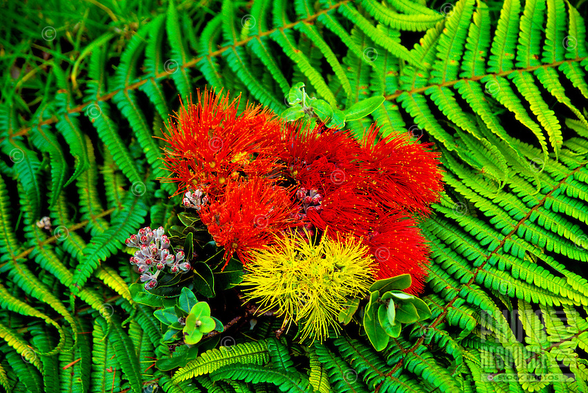 The ohia blossom in multicolors, (metrosideros collina). Also known as the vuga (fiji islands), anume (samoa).