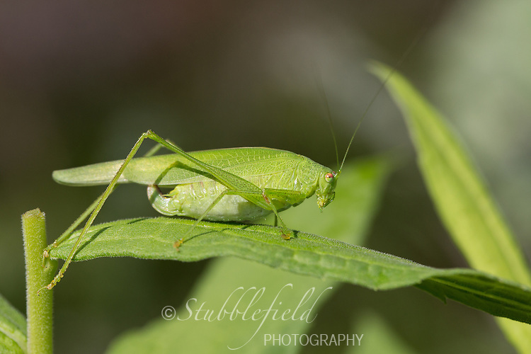 Oblong-Winged katydid (Amblycorypha oblongifolia) on a leaf in Central Park, New York City, New York.
