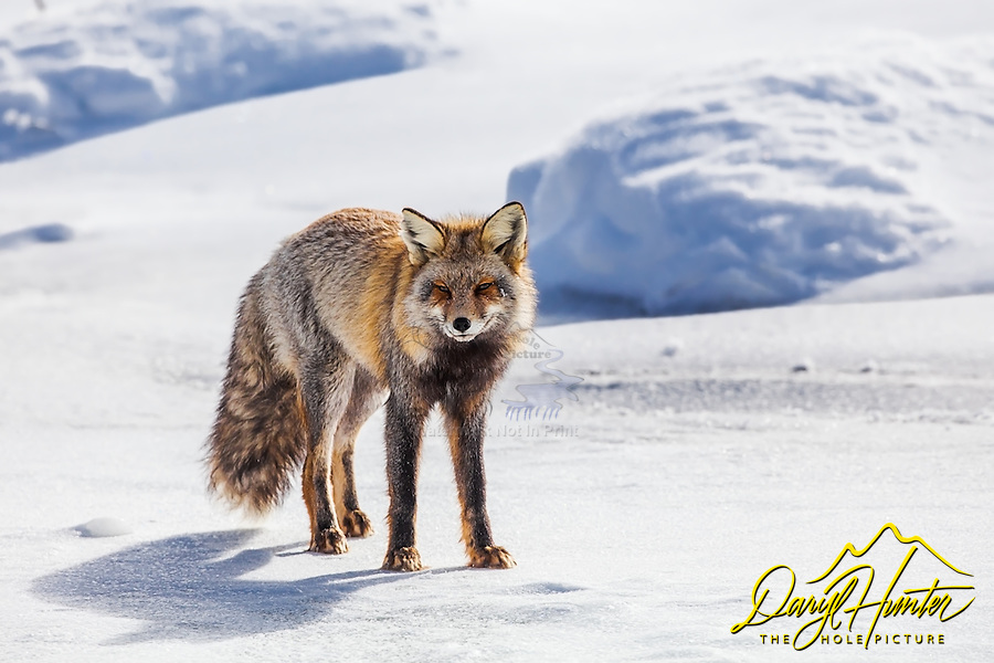 A cross fox pauses for a moment while  hunting a beaver wetland in western Wyoming. A cross fox is a mix between a grey fox and a red fox, you can see both int this guys coat.