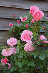 Pink climbing roses against weathered exterior house wall.