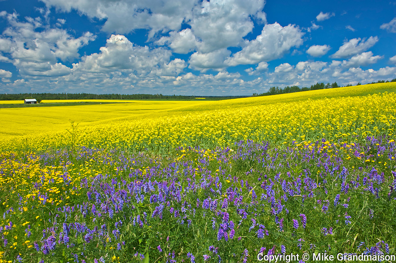 Canola crop and wild vetch flowers in bloom<br />New Liskeard<br />Ontario<br />Canada