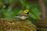 Black-throated Green Warbler (Dendroica virens), male, South Padre Island, Texas, USA
