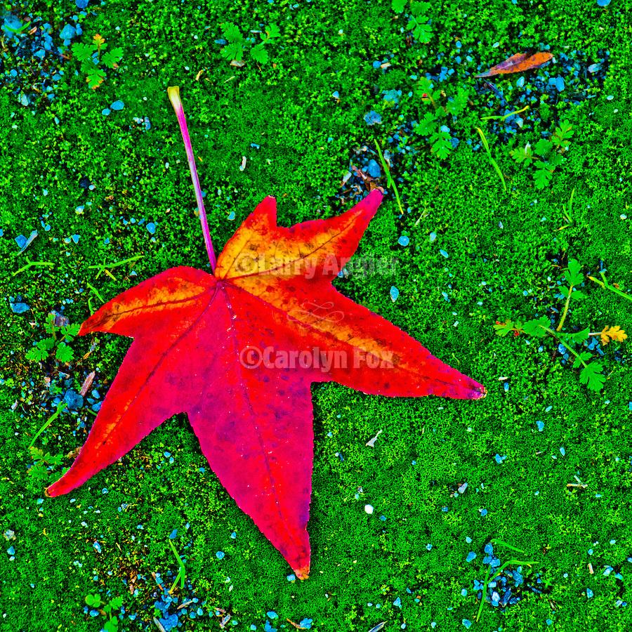 Colorful liquid amber leaves on the street, Main Street, Jackson, Calif.