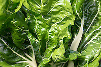 Swiss chard, Poiree leaf-beet, Beta vulgaris, variety Cicla in organic vegetable garden in UK