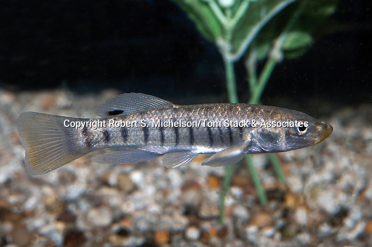 striped killifish male swimming right