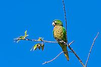 Olive-throated Parakeet, Belize