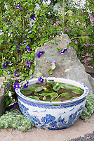 Tiny water garden pot container in blue and white Oriental style Wedgewood color theme pattern bowl, with Clematis vine in purple flowers against rock boulder stones