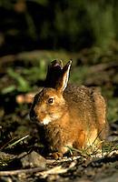 Snowshoe Hare, summer. (Lepus americanus).  Denali National Park, Alaska.