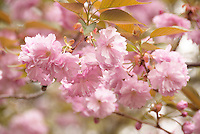 Pink petals of the yaezakura cherry blossoms blooming in Tokyo, Japan.