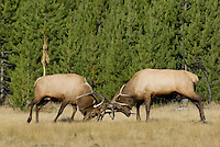 Two large Rocky Mountain Bull elk sparring over fall rutting rights.