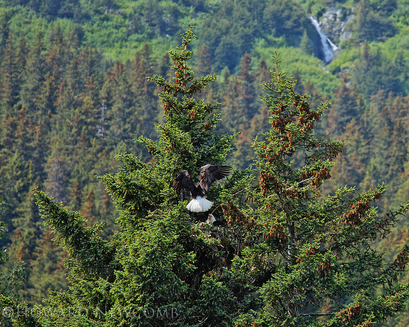 A bald eagle flies into the eagles nest to join its' nesting mate near Seward, Alaska.